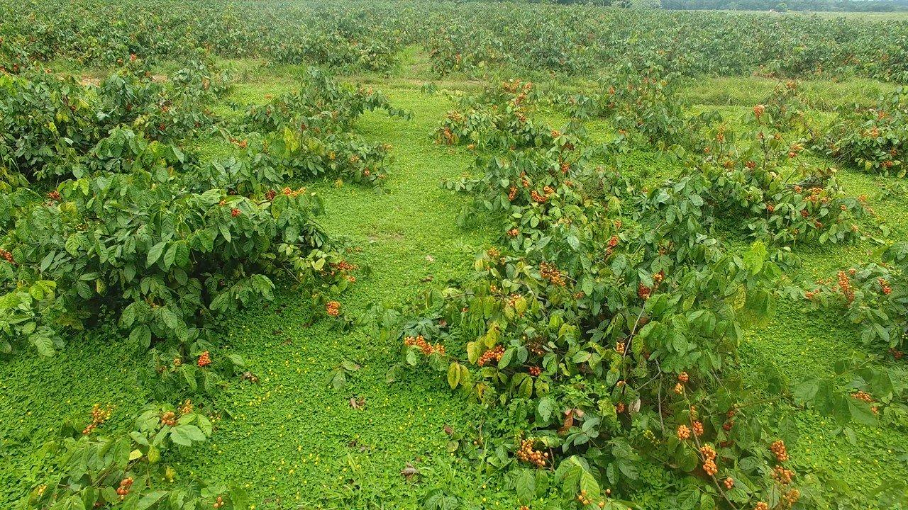 Cultivo de Guaranazeiro